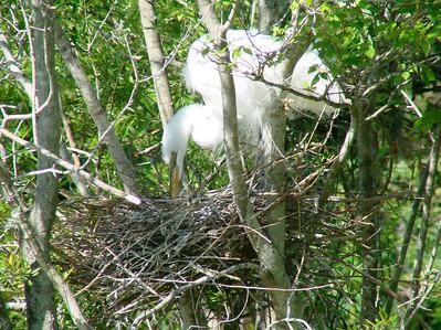 April 21, 2009 - (Audubon Swamp Garden [boardwalk] / Charleston, Charleston County, South Carolina) -- Great Egret on nest