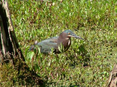 April 21, 2009 - (Audubon Swamp Garden [boardwalk] / Charleston, Charleston County, South Carolina) -- Green Heron