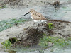 April 20, 2009 - (Pitt Street Bridge / Mount Pleasant, Charleston County, South Carolina) -- Dunlin