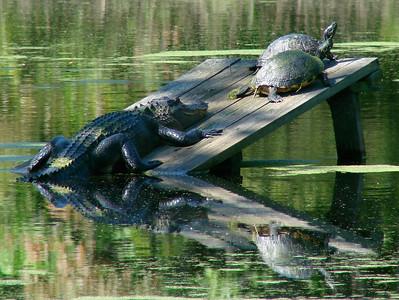 April 21, 2009 - (Audubon Swamp Garden [boardwalk] / Charleston, Charleston County, South Carolina) -- Alligator and Turtles