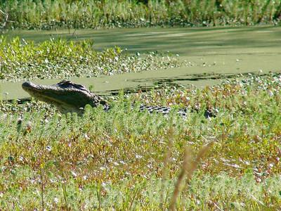 April 21, 2009 - (Audubon Swamp Garden [boardwalk] / Charleston, Charleston County, South Carolina) -- Alligator