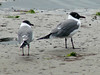 April 20, 2009 - (Pitt Street Bridge / Mount Pleasant, Charleston County, South Carolina) -- Laughing Gulls
