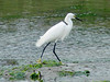 April 20, 2009 - (Pitt Street Bridge / Mount Pleasant, Charleston County, South Carolina) -- Snowy Egret