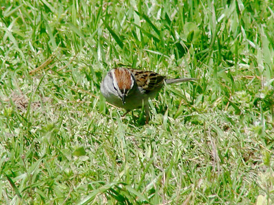 April 18, 2009 - (Highway 40 [Rest Stop], Madison County, North Carolina) -- Chipping Sparrow