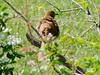 April 18, 2009 - (Dreher Island State Park [near Lake Murray] / Newberry County, South Carolina) -- Brown Thrasher