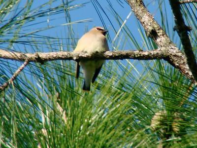 April 21, 2009 - (Audubon Swamp Garden [parking lot] / Charleston, Charleston County, South Carolina) -- Cedar Waxwing