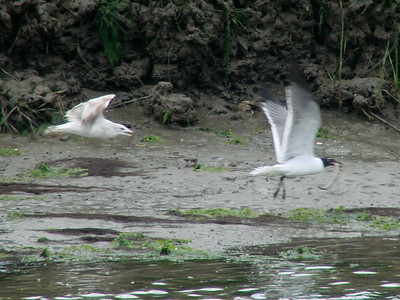 April 20, 2009 - (Pitt Street Bridge / Mount Pleasant, Charleston County, South Carolina) -- Ring-billed Gull battles Laughing Gull for captured snake. The captured prey was exchanged between the gulls several times, with the Laughing Gull finally winning the prize