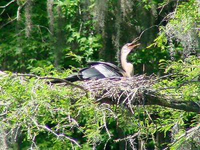 April 21, 2009 - (Audubon Swamp Garden [boardwalk] / Charleston, Charleston County, South Carolina) -- Juvenile Anhinga