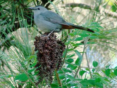 April 21, 2009 - (Audubon Swamp Garden [parking lot] / Charleston, Charleston County, South Carolina) -- Gray Catbird