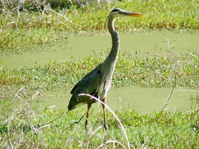 April 21, 2009 - (Audubon Swamp Garden [boardwalk] / Charleston, Charleston County, South Carolina) -- Great Blue Heron