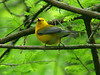 April 19, 2009 - (Francis Beidler Forest [Four Holes Swamp] / Harleyville, Dorchester County, South Carolina) -- Prothonotary Warbler
