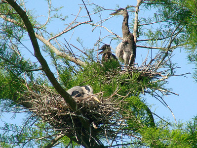 April 21, 2009 - (Audubon Swamp Garden [boardwalk] / Charleston, Charleston County, South Carolina) -- Great Blue Heron with chick on nest above and Black-crowned Night Heron on nest below