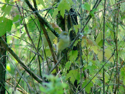 April 21, 2009 - (Audubon Swamp Garden [boardwalk] / Charleston, Charleston County, South Carolina) -- White-eyed Vireo