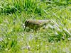 April 18, 2009 - (Highway 40 [Rest Stop], Madison County, North Carolina) -- Worm-eating Warbler