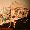 Skeliton of a bison.