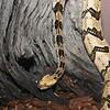 Rattle Snake ... them's good eats.