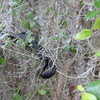Rat snake hiding in the trees
