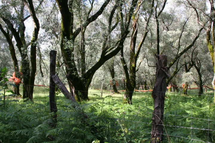Forests of Olive trees