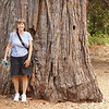 """We've been to """"Big Trees"""" where there are much larger redwoods than this. Still one of this size is impressive. We have three redwood trees in our back yard. We'll have to check them out in about 100 years to see if they've grown this big."""
