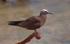 BROWN NODDY -- DRY TORTUGAS NP