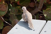 COLLARED DOVE -- DRY TORTUGAS NP