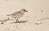 PIPING PLOVER -- DRY TORTUGAS NP