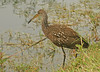 LIMPKIN AT SHARK VALLEY --  EVERGLADES NATIONAL PARK