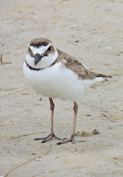 SNOWY PLOVER  TIGERTAIL BEACH, MARCO ISLAND, FL-(OUR NORTH AMERICA LIFE BIRD # 513