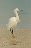 SNOWY EGRET ON BONITO BEACH