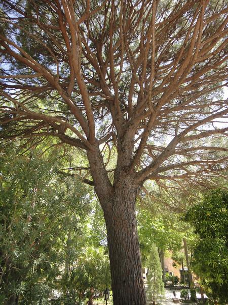 Strange type of pine tree