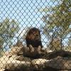 Papa Lion