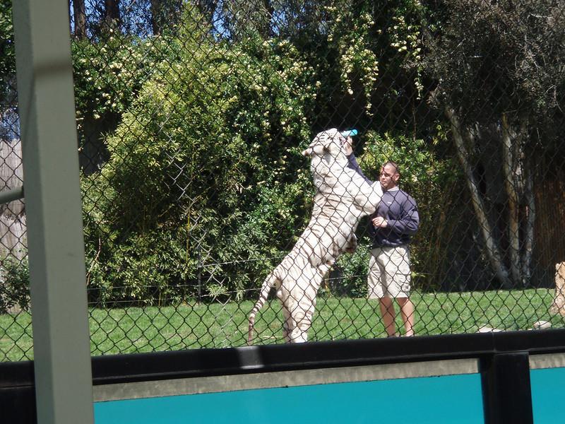 Odin the white tiger