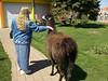 "Nelis' Dutch Village<br /> The highlight of our visit to Nelis' Dutch Village - walking Mr. T, the totally cool llama!<br /> <br />  <a href=""http://www.dutchvillage.com/"">http://www.dutchvillage.com/</a><br />  <a href=""http://bit.ly/ilgpU5"">http://bit.ly/ilgpU5</a>"