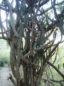 Big old cactus