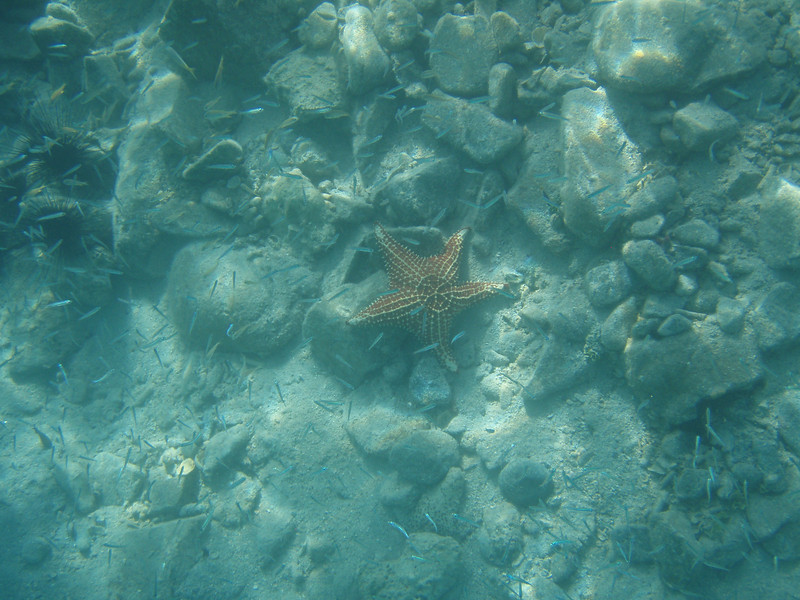 One enormous sea star.  Huge!