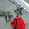 Iguanas liked Eric's red bag.