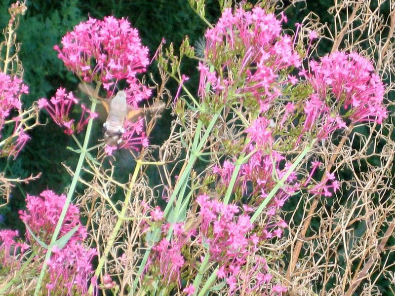 """Hummingbird"", actually a kind of moth"