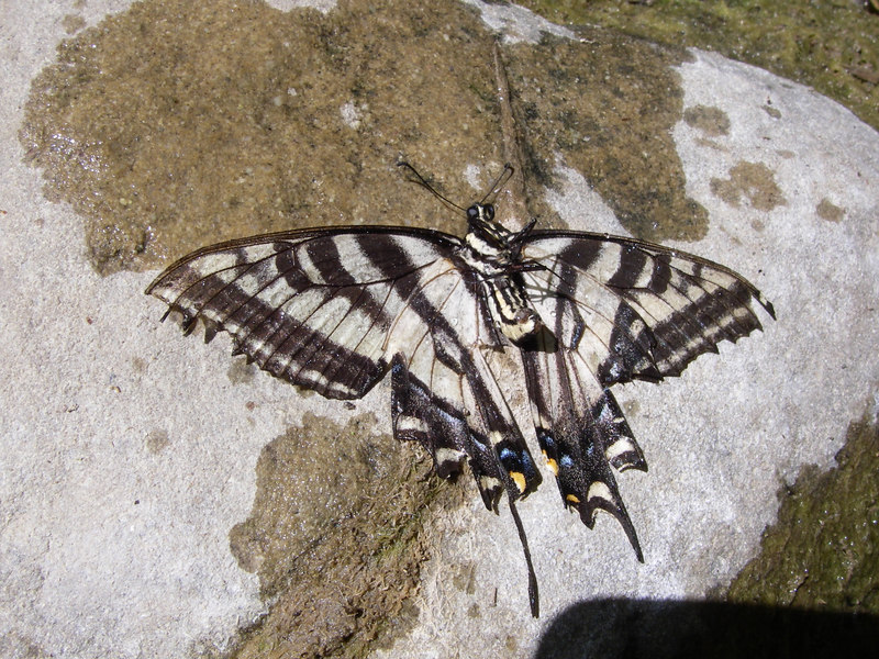We saw this swallowtail butterfly floating in the creek so we took it out and left it on a rock to dry