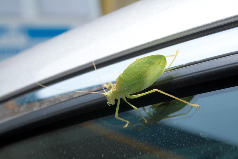 Mr. Green Leaf Bug<br /> <br /> This bug hitched a ride with us for the 10-or-so mile ride from the Cox Ford bridge to Rockville on our way to Bridgeton (to see the mill and bridge there). We first saw him as we left the Cox Ford bridge and at first I thought it was just a leaf blowing across the windshield. Crazy thing held on all the way to Rockville.