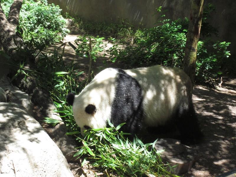 "We saw ""moving"" pandas... actually kinda rare as they are usually sleeping."