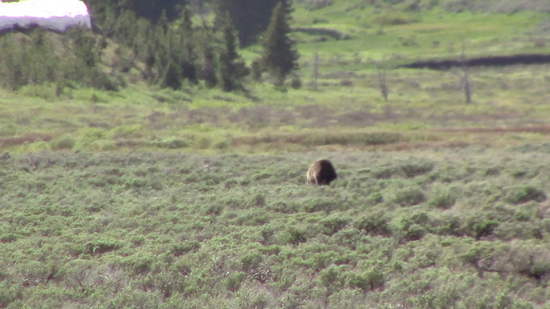 Swan Lake Flats - Grizzly- June 2013