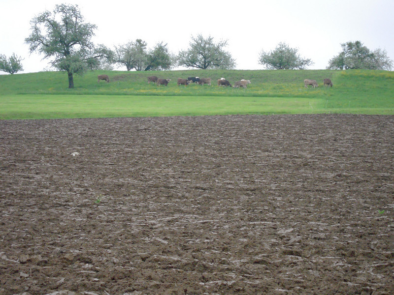 Plowed field (very rich soil) with dairy cows pasturing near by.