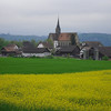 Canola field with Kapell Church in background
