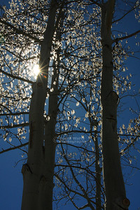 Trees with Sun Star