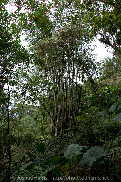 A cluster of bamboo in the jungle.  These made some really cool sounds as the wind hit them.