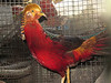 Golden pheasant in Fenchihu