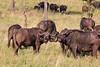 Buffalos, Seregenti National Park