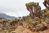 Giant Senecio, Kilimanjaro
