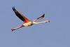 Flying flamingo, Lake Natron