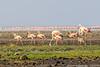 Flamingos, Lake Natron